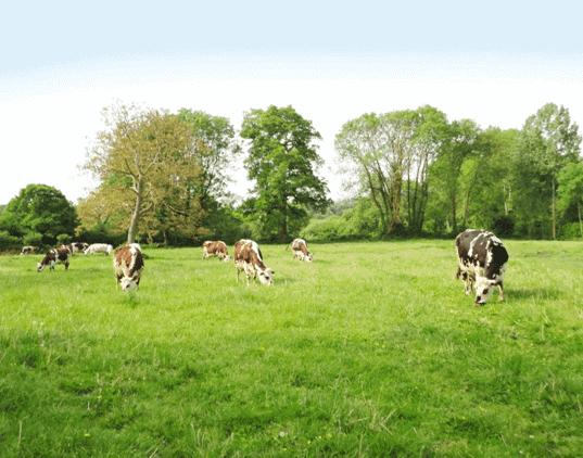 cows grazing e1602343414352