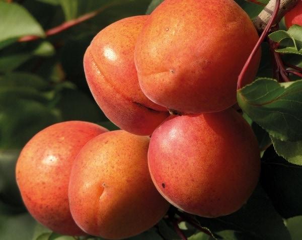 NF ripe apricot