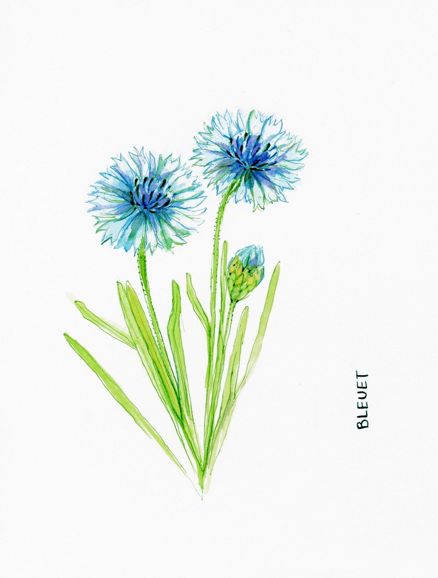 Bleuet Cornflower 1