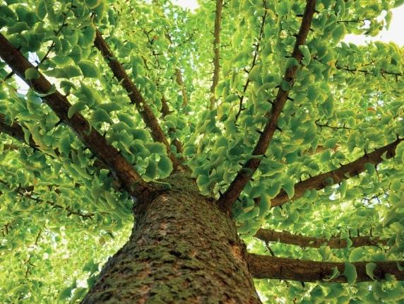 nf longevity ancient healing plant