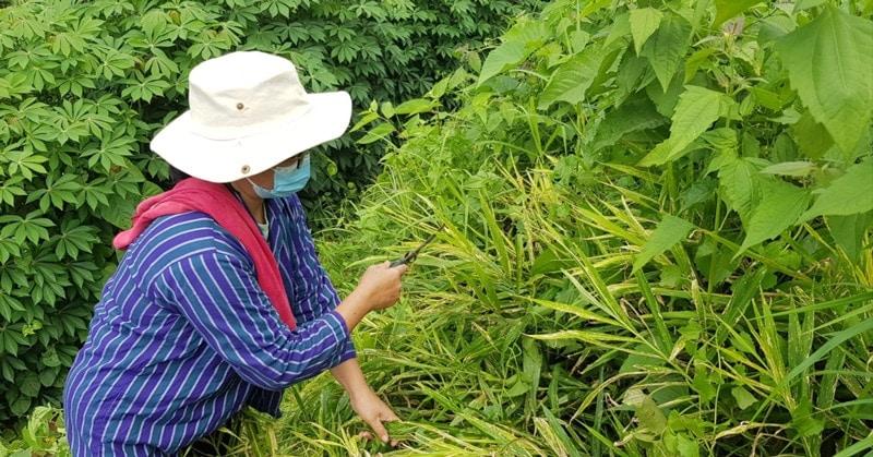 langit ginger farmer inspecting plant