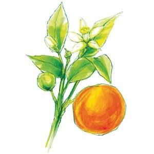 sweet-orange-drawing